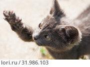 Маленький серый котенок с вытянутой лапой с острыми коготками. Стоковое фото, фотограф E. O. / Фотобанк Лори