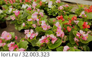 Купить «Flowering plants fern cultivated in modern orangery», видеоролик № 32003323, снято 26 мая 2019 г. (c) Яков Филимонов / Фотобанк Лори
