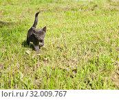 Купить «Маленький серый котенок. Солнечный день. Лето», фото № 32009767, снято 4 августа 2019 г. (c) Екатерина Овсянникова / Фотобанк Лори