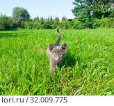 Купить «Маленький серый котенок идет по зеленой траве. Солнечный летний день», фото № 32009775, снято 4 августа 2019 г. (c) Екатерина Овсянникова / Фотобанк Лори