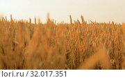 Купить «cereal field with spikelets of ripe wheat», видеоролик № 32017351, снято 4 августа 2019 г. (c) Syda Productions / Фотобанк Лори