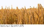 Купить «cereal field with ripe wheat spikelets», видеоролик № 32017375, снято 4 августа 2019 г. (c) Syda Productions / Фотобанк Лори