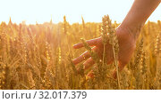 Купить «hand touching wheat spickelets on cereal field», видеоролик № 32017379, снято 4 августа 2019 г. (c) Syda Productions / Фотобанк Лори