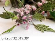 Motherwort - a medicinal plant with a calming effect. Стоковое фото, фотограф Galina Tolochko / Фотобанк Лори