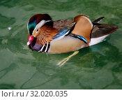 Купить «Утка-мандаринка (Mandarin Duck)», фото № 32020035, снято 20 февраля 2015 г. (c) Галина Савина / Фотобанк Лори