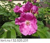 Шиповник морщинистый , rosaceae. Стоковое фото, фотограф Татьяна Матвейчук / Фотобанк Лори