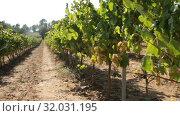 Купить «Closeup of bunches of ripe white grapes on vine in vineyard. Selective focus», видеоролик № 32031195, снято 27 сентября 2018 г. (c) Яков Филимонов / Фотобанк Лори
