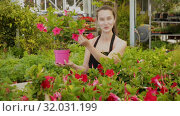 Купить «Female florist cultivating Dipladenia (Mandevilla) in greenhouse», видеоролик № 32031199, снято 26 мая 2019 г. (c) Яков Филимонов / Фотобанк Лори