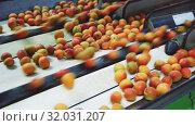 Купить «Fresh ripe apricots running on rolling conveyor of sorting production line», видеоролик № 32031207, снято 29 июня 2019 г. (c) Яков Филимонов / Фотобанк Лори