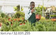 Купить «African American man florist arranging ornamental plants in pots while gardening in glasshouse», видеоролик № 32031255, снято 28 мая 2019 г. (c) Яков Филимонов / Фотобанк Лори