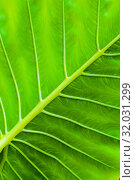 Tropical green leaf, vertical background. Стоковое фото, фотограф EugeneSergeev / Фотобанк Лори