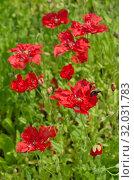 Купить «Красные маки цветут в саду летним солнечным днем», фото № 32031783, снято 15 июля 2019 г. (c) Елена Коромыслова / Фотобанк Лори