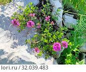 Купить «Thymus caucasicus Willd. ex Ronniger (семейство Lamiaceae)Тимьян кавказский Чабрец кавказский Чебрец кавказский», фото № 32039483, снято 5 августа 2019 г. (c) Овчинникова Ирина / Фотобанк Лори