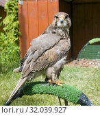Купить «A beautiful bird of prey a falcon sits on the grass and looks,Altai Falcon .Falco cherrug altaicus», фото № 32039927, снято 9 июля 2019 г. (c) Рожков Юрий / Фотобанк Лори