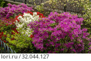 Landscaping in a apartment building complex in Chelsea in New York is blooming with azaleas on Saturday, May 4, 2019. (© Richard B. Levine). Стоковое фото, фотограф Richard Levine / age Fotostock / Фотобанк Лори