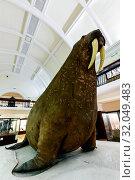 Купить «England, London, Forest Hill, Horniman Museum, The Horniman Walrus», фото № 32049483, снято 17 февраля 2020 г. (c) age Fotostock / Фотобанк Лори