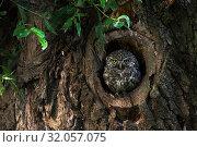 Купить «Little Owl / Minervas Owl / Steinkauz ( Athene noctua ) sitting, resting in, watching out of natural tree hollow in an old pollard willow, wildlife Europe.», фото № 32057075, снято 12 августа 2010 г. (c) age Fotostock / Фотобанк Лори