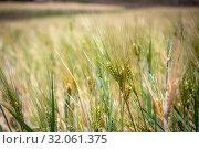 Barley harvest near Ankober, Ethiopia. Стоковое фото, фотограф Edwin Remsberg / age Fotostock / Фотобанк Лори