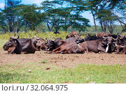Herd of buffaloes resting at nakuru. Стоковое фото, фотограф Zoonar.com/matthieu gallet / age Fotostock / Фотобанк Лори
