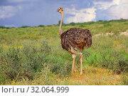 Ostrich at kgalagadi national park. Стоковое фото, фотограф Zoonar.com/matthieu gallet / age Fotostock / Фотобанк Лори