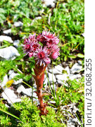 Купить «Sempervivum caucasicum Rupr. ex Boiss. (семейство Crassulaceae), Молодило кавказское в горах Абхазии», фото № 32068255, снято 5 августа 2019 г. (c) Овчинникова Ирина / Фотобанк Лори