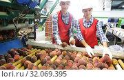 Купить «Young women in uniform working on peaches sorting line at warehouse, checking quality of fruits», видеоролик № 32069395, снято 3 августа 2019 г. (c) Яков Филимонов / Фотобанк Лори