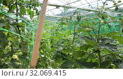 Купить «View of flowering tomato plants growing on supporting netting in glasshouse», видеоролик № 32069415, снято 3 июня 2019 г. (c) Яков Филимонов / Фотобанк Лори