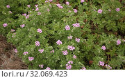 Купить «Image of grassy plant Geranium meadow at sunny day, nobody», видеоролик № 32069423, снято 31 марта 2019 г. (c) Яков Филимонов / Фотобанк Лори