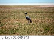 Nature, Wild, Bird, Namibia, Tasha, Grus grus, Common crane. Стоковое фото, фотограф Lukas Schwab / age Fotostock / Фотобанк Лори
