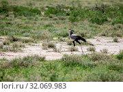 Nature, Wild, Animal, Bird, Namibia, Tasha, Sagittarius serpentarius, Secretary bird. Стоковое фото, фотограф Lukas Schwab / age Fotostock / Фотобанк Лори
