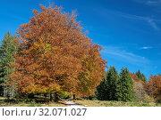 Waldrand im strahlenden Herbst in der Gemeinde Ramsau (Berchtesgaden) in der Nähe des Taubensees. Стоковое фото, фотограф RoHa-Fotothek Fürmann / age Fotostock / Фотобанк Лори