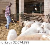 African american male proffesional farmer feeds sheeps with hay. Стоковое фото, фотограф Яков Филимонов / Фотобанк Лори