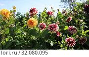 Купить «Георгины в саду (лат. Dаhlia)», видеоролик № 32080095, снято 24 августа 2019 г. (c) Ольга Сейфутдинова / Фотобанк Лори