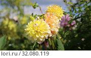 Купить «Георгины в саду (лат. Dаhlia)», видеоролик № 32080119, снято 24 августа 2019 г. (c) Ольга Сейфутдинова / Фотобанк Лори