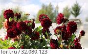 Купить «Красные георгины в саду (лат. Dаhlia)», видеоролик № 32080123, снято 24 августа 2019 г. (c) Ольга Сейфутдинова / Фотобанк Лори