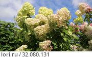Купить «Гортензия метельчатая Лаймлайт (Hydrangea paniculata Limelight). Штамб», видеоролик № 32080131, снято 24 августа 2019 г. (c) Ольга Сейфутдинова / Фотобанк Лори