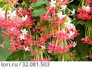 Купить «Обильно цветущая красными ароматными цветами вечнозеленая индийская лиана квисквалис (Quisqualis indica)», фото № 32081503, снято 21 июня 2019 г. (c) Irina Opachevsky / Фотобанк Лори