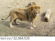 Купить «Лев с гривой и поцарапанным носом стоит на земле. Взгляд в камеру», фото № 32084535, снято 10 марта 2019 г. (c) Наталья Гармашева / Фотобанк Лори