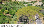 Aerial video from drone rotating around old huge tree Calabrian pine on Crete. Greece. (2019 год). Стоковое видео, видеограф Serg Zastavkin / Фотобанк Лори