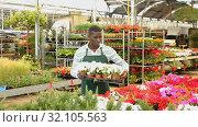 Купить «Focused African American florist examining begonia plants while gardening in glasshouse», видеоролик № 32105563, снято 28 мая 2019 г. (c) Яков Филимонов / Фотобанк Лори
