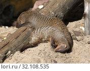Купить «Sweet Dreams. Banded mongoose (Mungos mungo)», фото № 32108535, снято 29 августа 2019 г. (c) Валерия Попова / Фотобанк Лори