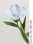 Купить «Цветок льна (Linum usitatissimum)», фото № 32108595, снято 24 августа 2019 г. (c) Александр Курлович / Фотобанк Лори