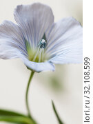 Купить «Цветок льна (Linum usitatissimum)», фото № 32108599, снято 28 августа 2019 г. (c) Александр Курлович / Фотобанк Лори