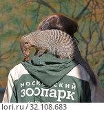 Купить «Fancy collar. Moscow zoo. Zookeeper with Banded mongoose (Mungos mungo)», фото № 32108683, снято 29 августа 2019 г. (c) Валерия Попова / Фотобанк Лори