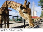 Купить «Жираф наклонил голову через ограждение», фото № 32110395, снято 10 марта 2019 г. (c) Наталья Гармашева / Фотобанк Лори