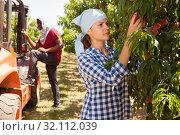Купить «Woman farmer harvesting peaches», фото № 32112039, снято 7 июля 2020 г. (c) Яков Филимонов / Фотобанк Лори