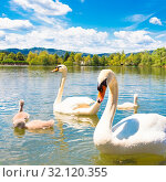 Swan family swimming in Koseze Pond or Martinek Pond or Lake Koseze is an artificial pond at the edge of Ljubljana, the capital of Slovenia. Стоковое фото, фотограф Zoonar.com/Matej Kastelic / easy Fotostock / Фотобанк Лори