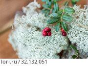 Купить «close up of cowberry and reindeer lichen moss», фото № 32132051, снято 13 сентября 2018 г. (c) Syda Productions / Фотобанк Лори