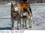 Купить «Сибирские хаски в упряжкке», фото № 32141531, снято 20 февраля 2016 г. (c) Михаил Панфилов / Фотобанк Лори