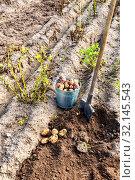 Купить «Freshly dug organic potatoes of new harvest», фото № 32145543, снято 25 августа 2018 г. (c) FotograFF / Фотобанк Лори